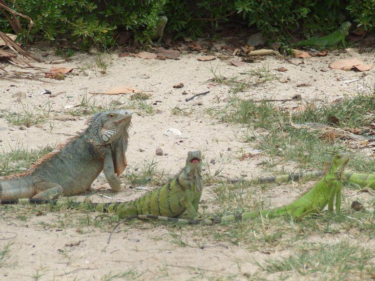 st.martin iguanas